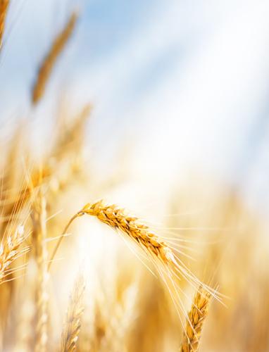 Wheat Banner